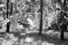 Leaf (suxarik) Tags: nikon s2 nikons2 rf rangefinder nikonrangefinder nikkor film bw xtol blackandwhite blackwhite monochrome diy selfdeveloped handdeveloped polypan polypanf iso50 scanned minolta minoltadimagescanelite5400 expired