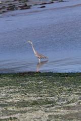 IMG_2468 (armadil) Tags: mavericks beach beaches bird birds flying californiabeaches heron greatblueheron blueheron