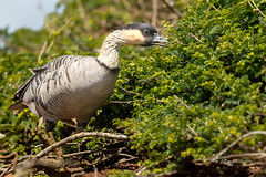 A Little Snack (Rick Derevan) Tags: nene goose hawaiiangoose kauai kilauea kilaueapoint bird hawaii brantasandvicensis