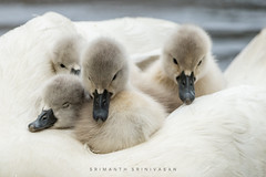 Cygnets Basking in Love (srimanthks) Tags: wildlife nature birds cygnets swan mother love animal planet
