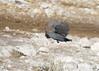 Guinea Fowl Namibia BB0T1913 (YOYO182) Tags: namibia etosha africa wildlife guineafowl