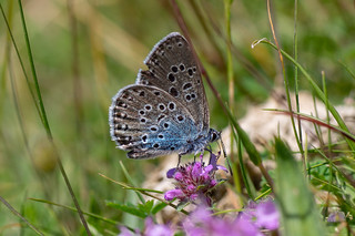 Large blue (Maculinea arion) nectaring