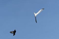 Attaque d'une corneille contre un Goéland A7301375_DxO (jackez2010) Tags: ilce7m3 fe100400mmf4556gmoss bif birdinflight attaquedunecorneillecontreungoéland corneille goéland