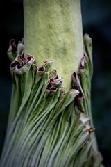 Alberich - The Titan (wowafo) Tags: wilhelmastuttgart amorphophallustitanum sumatra pflanzen natur nature blumen blüte titanwurz alberich