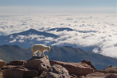 Baby Mountain Goat Living High Above the Clouds (NickSouvall) Tags: baby mountain goat wild wildlife animal clouds drama dramatic fog inversion low cloud cloudy sky morning light backlight mount evans colorado front range mountains alpine tundra snow capped peaks view overlook landscape nature