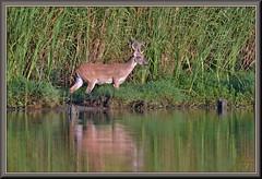 What really caught my eye!!! (WanaM3) Tags: wanam3 nikon d7100 nikond7100 texas pasadena clearlakecity armandbayou bayou outdoors nature wildlife canoeing paddling animal deer whitetaileddeer