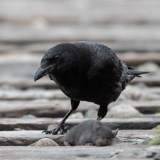 Northwestern Crow with Prey