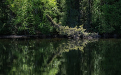 'Onomatopoeia' (Canadapt) Tags: shoreline mirror reflection trees metaphor forest keefer canadapt