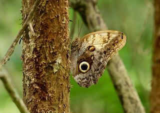 Owl Butterfly --- Caligo memnon