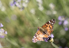 End of the runnway (Irina1010) Tags: bee insects macro bokeh flower lavender summer nature canon butterfly coth5 ngc npc