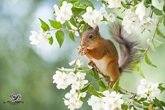 red squirrel standing on jasmine branches (Geert Weggen) Tags: animal animalfamily backgrounds balance beautyinnature blossom botany branchplantpart cheerful closeup cute flower flowerhead fragility freshness greencolor growth herb herbalmedicine homeopathicmedicine honey horizontal insect jasmine meadow nature nopeople outdoors photography plantstem pollination red rodent smiling squirrel summer sweden tranquilscene uncultivated wildflower bispgården jämtland geert weggen ragunda