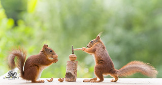 red squirrels with a hammer and an walnut