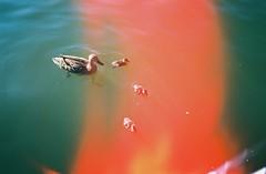 Ducklings, lightleak (knautia) Tags: floatingharbour bristol england uk june 2018 film ishootfilm olympus xa2 olympusxa2 kodak ektar 100iso nxa2roll31 harbour docks lightleak duck ducklings