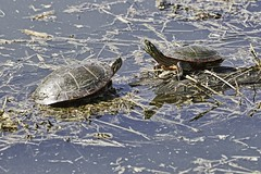 Turtle Standoff (chauvin.bill) Tags: htt happyturtletuesday tamron paintedturtles strickerspond