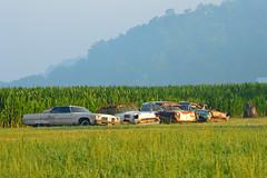the forgotten four (brown_theo) Tags: chevy chevrolet oldsmobile farm field rust corn junk sugar grove ohio rural morning dawn fog fifties hill