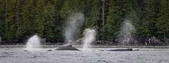 Humpback Whales (Turk Images) Tags: britishcolumbia dundasisland humpbackwhale pacificocean workchannel westcoast cetaceans mammals marine megapteranovaeangliae