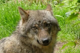 001120 Wolf
