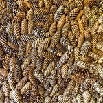 pinecones thumbnail