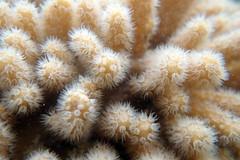 Starry leathery soft coral (Sinularia brassica) (wildsingapore) Tags: pulau jong alcyoniidae alcyonacea sinularia brassica cnidaria island singapore marine intertidal shore seashore marinelife nature wildlife underwater wildsingapore
