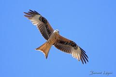 Milvus milvus Milan royal Red Kite Milano Real Rotmilan (֍ Bernard LIÉGEOIS ֍) Tags: espagne españa spain oiseau bird birdwatching milanroyal milvusmilvus inflight envol