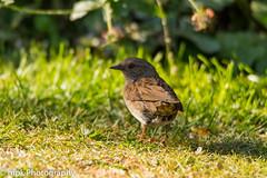 Dunnock, (Prunella modularis) (Mick PK) Tags: bird canon canoneos70d derbyshire dunnock eastmidlands england garden gardenwildlife grass green places prunellamodularis summer tamron tamronsp150600divcusdg2 tibshelf uk