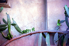 Cactus I (//sarah) Tags: film minoltasrt100 cactus texture exposure contrast