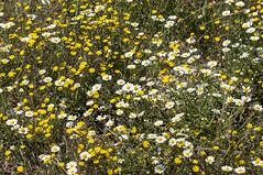 El campo en primavera. (Flipy Nubenegra) Tags: flores dehesadenavalvillar