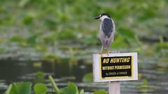 Brief video black crowned night heron. (Mel Diotte) Tags: brief video black crowned night heron