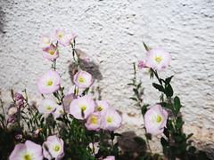 Marfa, TX (BurlapZack) Tags: olympusomdem5markii panasonicleicadgsummilux25mmf14 vscofilm pack01 marfatx westtexas poppies wildflowers flowers flora wall bokeh dof microfourthirds roadtrip vacation weekendgetaway weekendwarriors nature blooms blossoms flowering