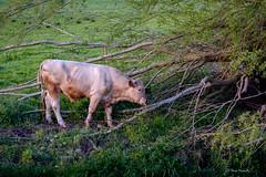 Tree for Tea (cogy) Tags: bull cow tree kilcock kildare ireland landscape dinner tea eating tongue