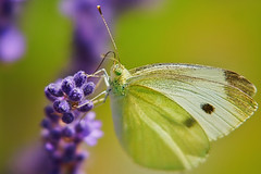 Delicate (wulifou) Tags: nature lavender butterfly sonyilce7m3 sonyfe100mmf28stfgm extensiontubes sonya7iii dof stf bokeh green purple closeup