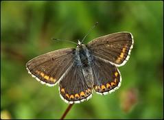 Female Adonis Blue - Swelshill Bank (glostopcat) Tags: adonisbluebutterfly butterfly insect invertebrate glos summer june nationaltrust stroud swelshillbank