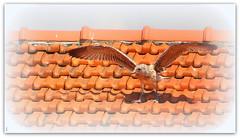 chouchou est parti... bon vent petit ami ! (Save planet Earth !) Tags: bird oiseau seagull amcc nikon