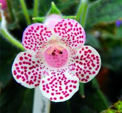 Red Polka Dot Flower (Stanley Zimny (Thank You for 31 Million views)) Tags: flower bronx botanical garden ny macro red polka dot