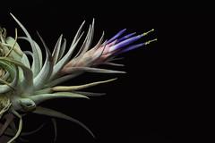 13 juillet 2018 - Tillandsia hondurensis (Mafate79) Tags: 2018 tillandsiahondurensis tillandsia bromeliaceae broméliacées plante fleur b0009