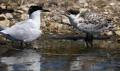Sandwich Tern & chick - Brownsea Island Dorset (3) (ailognom2005) Tags: brownseaisland sandwichtern sandwichternchick dorset dorsetwildlife birds britishbirds
