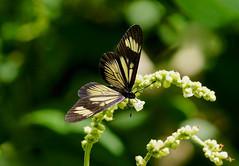 Guatemalan Actinote --- Actinote guatemalena (creaturesnapper) Tags: xandariresort costarica lepidoptera butterflies nymphalidae guatemalanactinote actinoteguatemalena