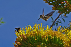 Nature... (cbrozek21) Tags: insect bee carpenterbee agave agaveflower hummingbird blackchinnedhummingbird hummingbirdinflight birdinflight colibri kolibri picaflor newmexico