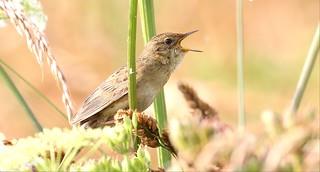 Grasshopper warbler- (gropper)