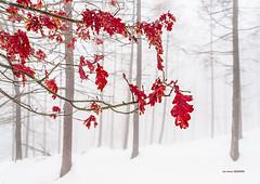 Duro invierno en Saldropo (Jabi Artaraz) Tags: hojas hostoak haritza roble elurra nieve invierno winter detalle