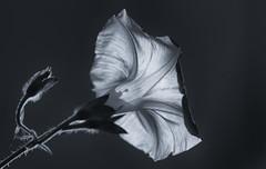 Tiny Shadow Play (AnyMotion) Tags: commonmorningglory purpurprunkwinde ipomoeapurpurea shadowplay schattenspiel backlight gegenlicht plants pflanzen blossom blüte 2018 anymotion nature natur blumen floral flowers frankfurt 7d2 canoneos7dmarkii garden garten bw blackandwhite sw macro makro makroaufnahmen