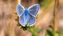Common Blue (Icarusblauwtje) (moniquedoon) Tags: blue butterfly nature commonblue icarusblauwtje vlinder insect insects macrolovers insectlovers bestmacro natuur summer