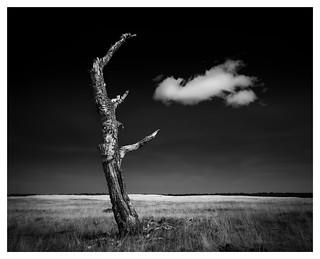 Dead Birch Tree #2