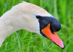 Swan portrait (gillybooze) Tags: ©allrightsreserved bird swan birdwatcher bokeh reeds outdoor dof grass wildlife marsh lake