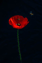 survol (heiserge) Tags: france ogy poppy coquelicot insectes guêpes moselle europe fleurs lorraine animal animaux