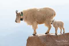 Mountain Goat adult and kid