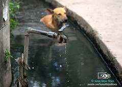 SUMMER  EFFECT (Suman Kalyan Biswas) Tags: summer cool water dog animal animals droplets drain street soak westbengal streetphotography thirsty tapwater nabadwip india summereffect hotweather toohot relief outdoor