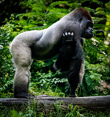 Scratch (4 Pete Seek) Tags: zoo zooatlanta atlantazoo sps spsatlanta captiveanimals ape gorilla silverback silverbackgorilla