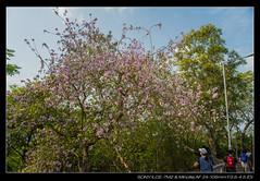 20180325-155705-A7M2 (YKevin1979) Tags: yuentsuenancienttrail 元荃古道 hongkong 香港 sony ilce7m2 a7ii a7m2 alpha minolta minoltaaf241053545d 24105 24105mm f3545 af countrypark 郊野公園 flower flora floral 花 大棠 元朗 yuenlong