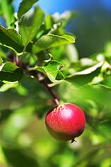 Noch zwei Monate (Michael Döring) Tags: gelsenkirchen bismarck marschallstrase garten apfel apple afs105microg d850 michaeldöring